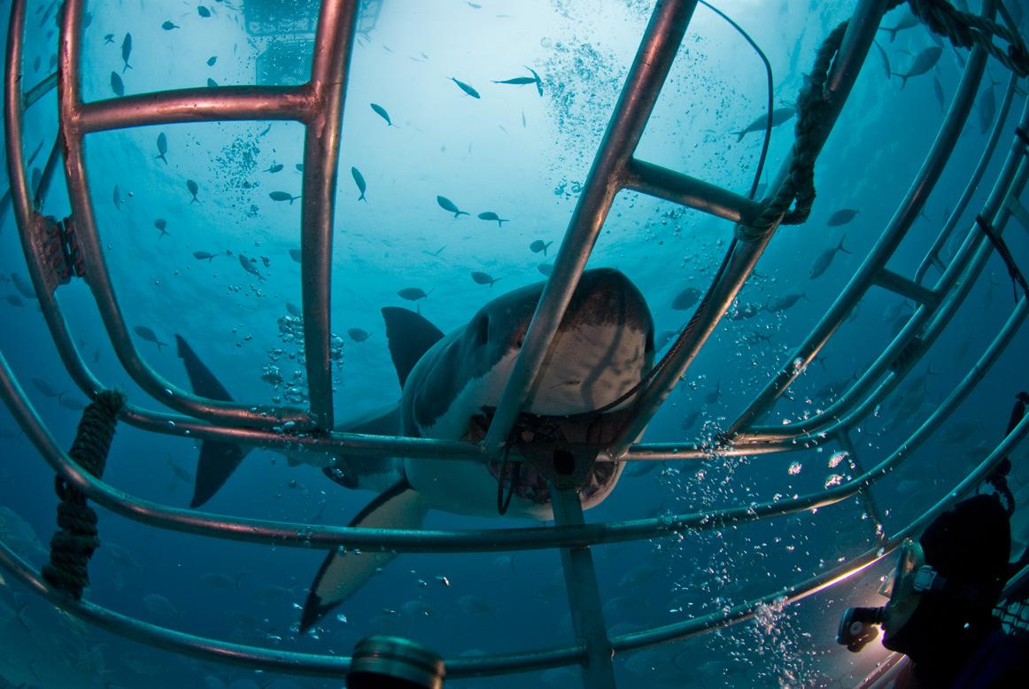 погружение с акулами в клетке фото она так пояснила